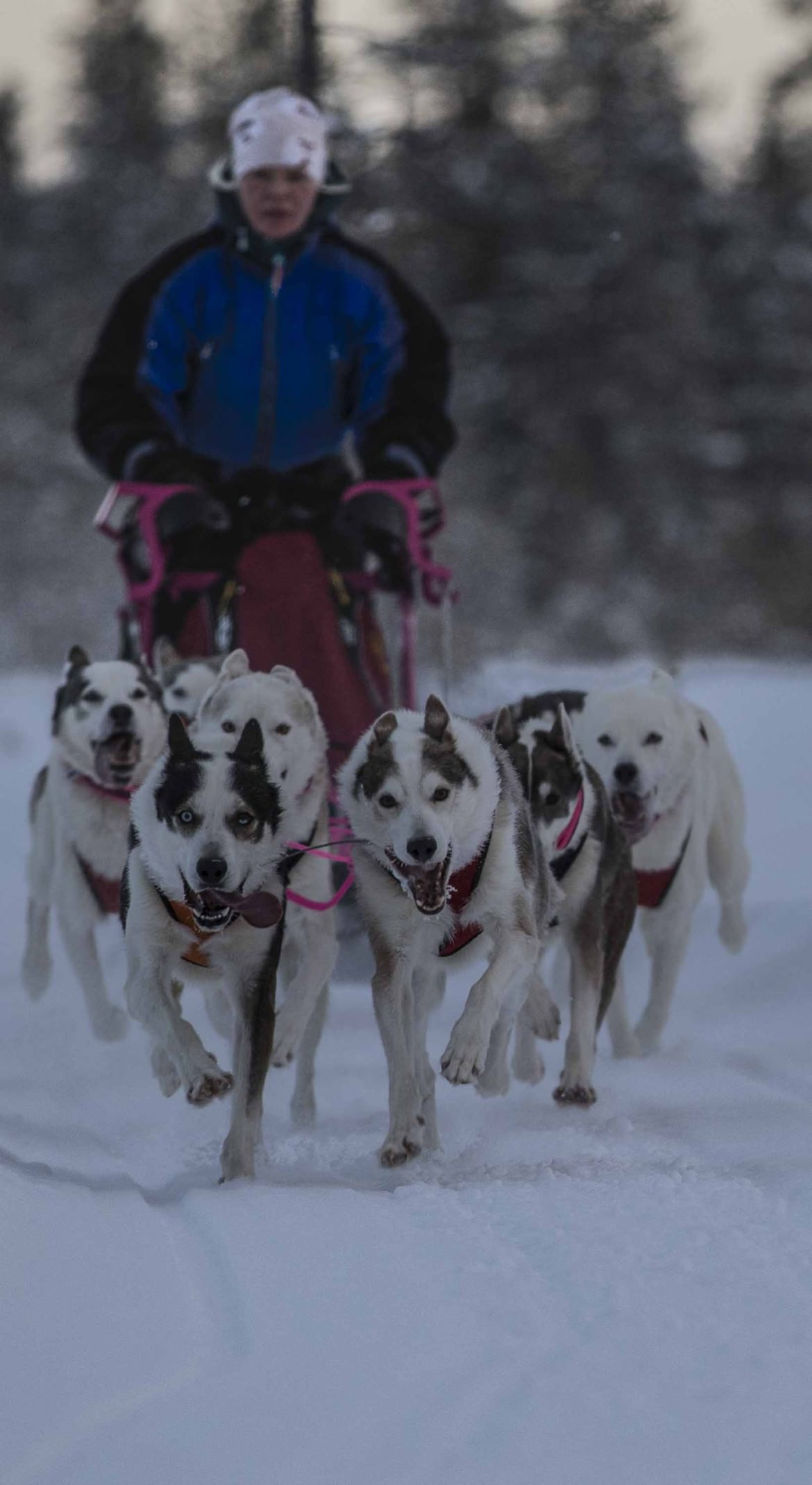 Sled dog trails at Camp Dannevall
